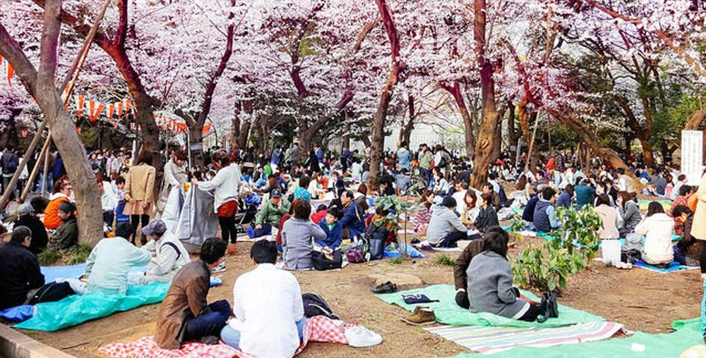 Japan's famed cherry blossoms